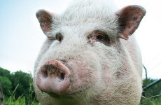 Man detained in relation to 2008 contaminated pork crisis