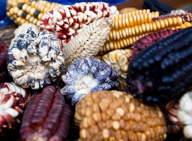 Genetically modified maize varieties will be approved for use in the EU and Ireland