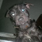 Patty: Black-haired female Patterdale. She has a bald patch where hair is noticeably missing over her left eye.