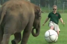 The best video of an elephant playing football you'll see today