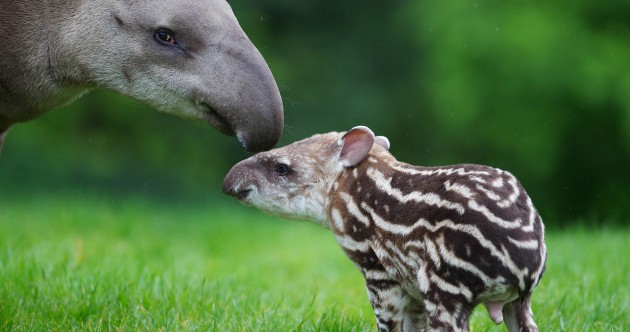 PHOTOS: the latest addition to Dublin Zoo…a newborn Tapir calf