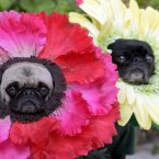 Here, Mochi and Olive are flowers. Here, do they look positively energised to you? (AP Photo/Richard Vogel)