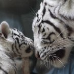 Baby tigers and their mammies help productivity (AP Photo/Petr David Josek)
