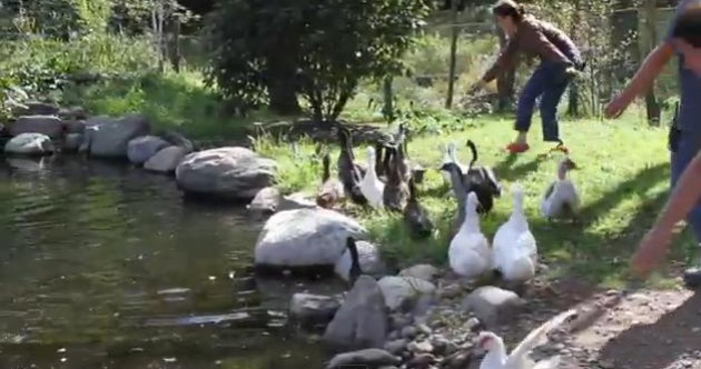 VIDEO: watch ducks swimming for the first time, and bloody loving it