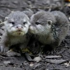 Cuddling otters help productivity (Peter Byrne/PA Wire)