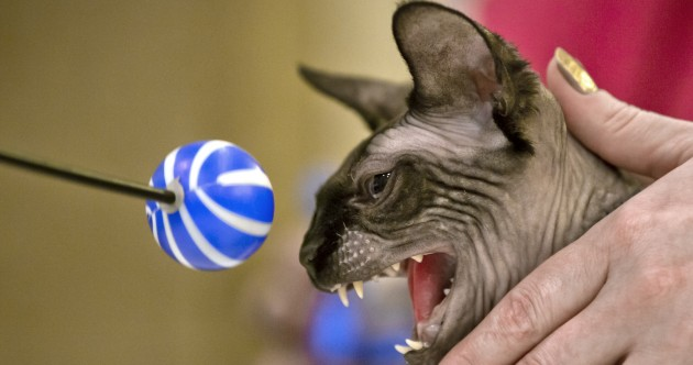IN PICTURES: a real-life cat beauty contest