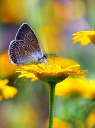 It was found that the Common Blue butterfly(Polyommatus icarus) has declined significantly.