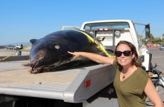 Rare sabre-toothed whale found dead on California beach