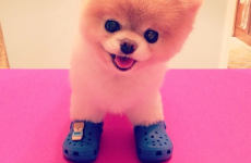 'The world's cutest dog' Boo is collaborating with Crocs