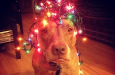Scout the adorable pit bull can balance anything on his head