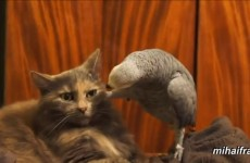 Who knew cats and parrots were such mortal enemies?