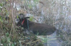Donkey suffers hypothermia after spending night stuck in Dublin canal